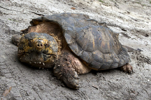 Baby Snapping Turtle Diet Related Keywords - Baby Snapping Turtle Diet ...